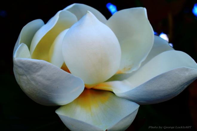 magnolia 2015